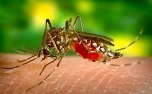 Mosquito transmissor da zika vírus