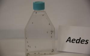 19/02/2016 - Washington DC - EUA - A PAHO, Organização Panamericana de Saúde liberou ensaio onde são expostos todas as fases de vida do Aedes aegypti, do ovo ao mosquito. Foto: PAHO/WHO