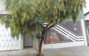 Árvore em casa Barueri1