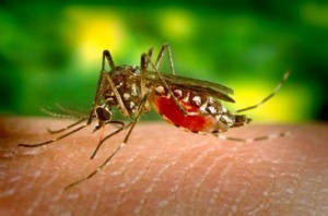 A febre amarela é transmitida por uma espécie de mosquito e não por macacos