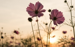 Silhouette pink cosmos flowers in garden field over sunset background