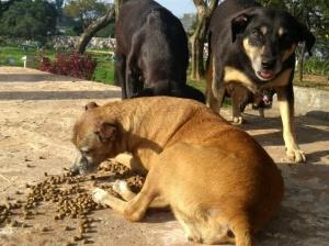 Cães moradores  cemitério